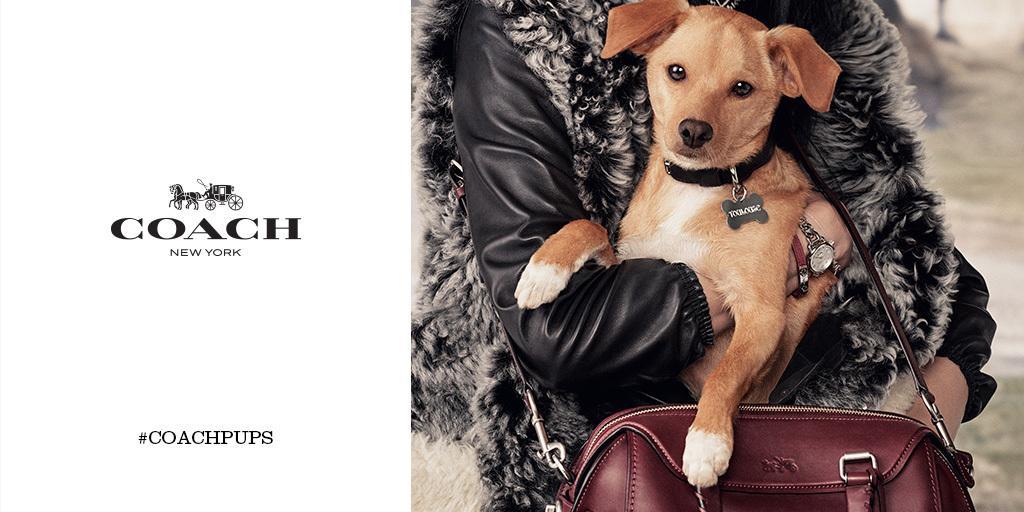 Il cucciolo di Beagle-Chihuahua della cantante Ariana Grande